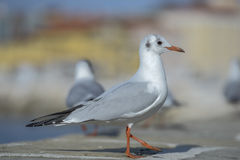 Seagull standing on a wall. Flock of seagulls is standing on a wall with blurry buildings in the background Royalty Free Stock Photos