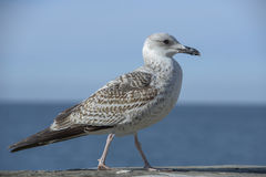 Seagull standing on a wall. Seagull is standing on a wall in front of a sea horizon Stock Photo
