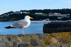 A seagull standing on a wall, Cornwall, UK. A seagull standing on a wall in the harbour at St Ives, Cornwall, UK stock photography