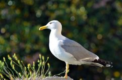 Seagull standing on a wall. Of the port of Genoa stock photo