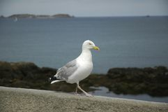 Seagull standing on a wall. A Seagull standing on a wall. The sea and island in the background are blurred. The bird presents his profile stock image