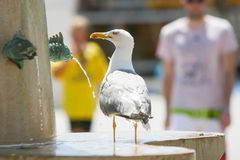Seagull standing on water fountain Royalty Free Stock Photography
