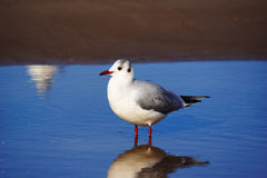 Seagull standing in the water Royalty Free Stock Image
