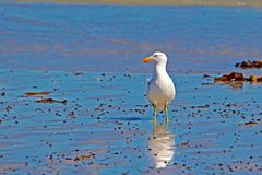 Seagull standing on wet beach. Kelp Seagull standing on wet beach with sea in background looking to the left in Western Cape, South Africa royalty free stock photography