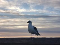 Seagull standing on a wood. With colorful sky in california stock image