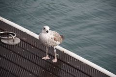 Seagull standing on a wooden pier Stock Photo