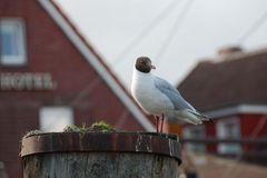 Seagull standing on a wooden pole Royalty Free Stock Photos