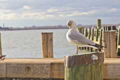 Seagull standing on wooden post Royalty Free Stock Image