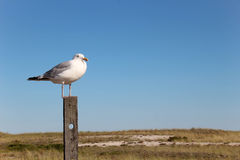 Seagull standing on a wooden post. With sand dunes and blue sky Royalty Free Stock Image