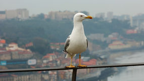 Seagull standng. Seagull standing of Trail over the City of Porto in Portugal Stock Photo