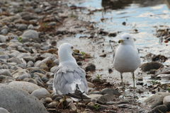 Seagull Standoff Stock Images