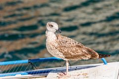 Seagull stands on the background of water in Sete, France. Close-up. stock images