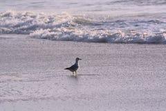 Seagull at Ocean`s Edge at Sunrise Stock Photos
