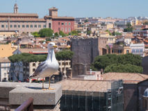 Seagull stands over the roofs in historical center of Rome Royalty Free Stock Photo