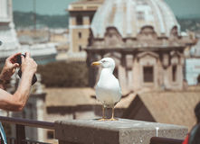 Seagull stands over the roofs in historical center of Rome royalty free stock images