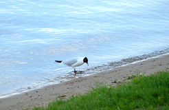 Seagull stands on river coast line on summer day and eating small fish Stock Photos