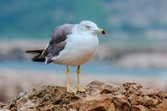 Seagull stands on a rock. A seagull is standing on a rock in Japan, Yamagata prefecture Stock Photo