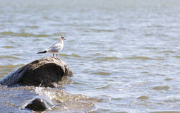 Seagull stands on a rock in water Royalty Free Stock Image