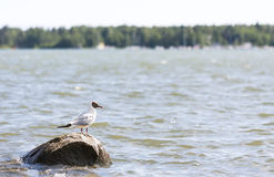 Seagull stands on a rock in water Royalty Free Stock Photography