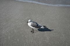 Seagull on the shore. A seagull stands watch on the shore Royalty Free Stock Photo