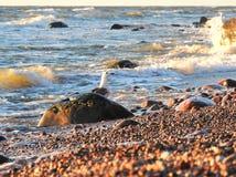 Seagull staranny kamień na morza bałtyckiego wybrzeżu, Lithuania obrazy stock