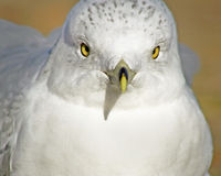 Seagull Stare Royalty Free Stock Photography