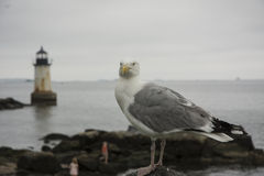 Seagull Stare. This seagull was staring at the camera on Winter Island in Salem, MA Stock Photo