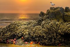 Seagull Starfish Anemone Tide Pool Sunset. Low tide on Oregon coast at Cannon Beach. The tide pools reveal starfish and sea anemones as a sea full perches stock photos