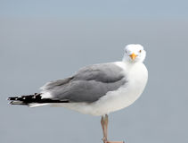 Seagull staring Royalty Free Stock Photos