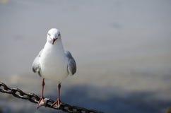 Seagull Staring at Camera Royalty Free Stock Photo