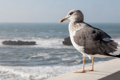 Seagull staring at the sea Stock Photo