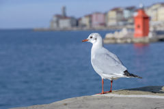 Seagull staring the sea Stock Image