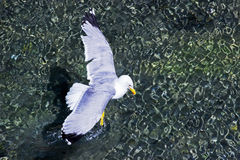 Seagull. A Seagull start for flight Royalty Free Stock Photo