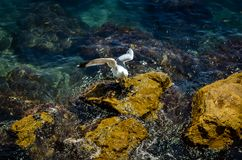 Seagull starting at rocky seascape Royalty Free Stock Photography