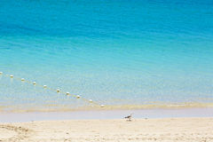 Seagull staying in the blue water Stock Image