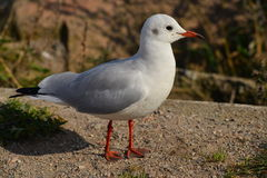 A seagull staying Stock Photos