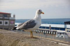 Seagull staying on the wall near port of Vigo, Vigo, Galicia, Sp Stock Image