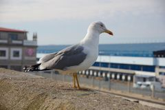 Seagull staying on the wall near port of Vigo, Vigo, Galicia, Sp Royalty Free Stock Photos