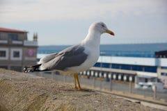 Seagull staying on the wall near port of Vigo, Vigo, Galicia, Sp royalty free stock photos
