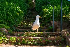 A seagull on the steirs. Of the Santa Clotilde Gardens in Lloret de Mar Royalty Free Stock Photos