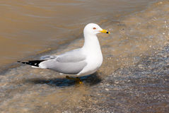 Seagull stepping from water onto beach. Royalty Free Stock Photo