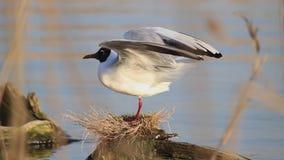 Seagull stoi na fiszorku robi ciepłemu w górę skrzydeł zbiory