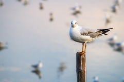 Seagull stojak na drewnianym słupie Zdjęcia Stock