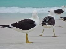 Seagull stojak na piasku, Prainhas robi Pontal plaży, Arraial robi Cabo Zdjęcia Stock