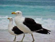 Seagull stojak na piasku, Prainhas robi Pontal plaży, Arraial robi Cabo Obraz Stock