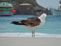 Seagull stojak na piasku, Prainhas robi Pontal plaży, Arraial robi Cabo Obraz Royalty Free