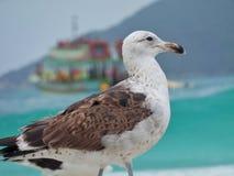 Seagull stojak na piasku, Prainhas robi Pontal plaży, Arraial robi Cabo Obrazy Royalty Free