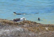 Seagull with stolen Penguin egg Stock Image