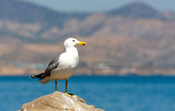 Seagull on stone Stock Image