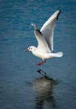Seagull With Stone Above Frozen Lake Royalty Free Stock Photos